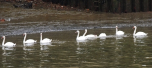 Mute Swans at Gravesend waterfront