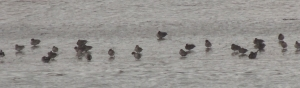 Ducks feeding on the waterline