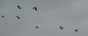 Northern Lapwings