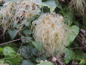 Old Man's Beard – Clematis vitalba was much in evidence around the reserve