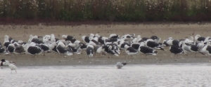 Great Black-backed Gulls at roost