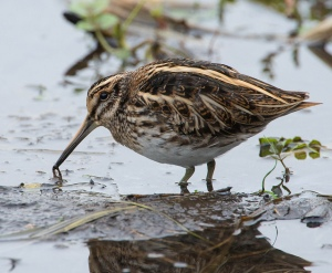 Jack Snipe (photo by Don Sutherland -https://www.flickr.com/photos/snapperg/)