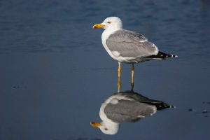 Yellow-legged Gull. Photo by Francesco Veroesi. (https://www.flickr.com/photos/francesco_veronesi/)