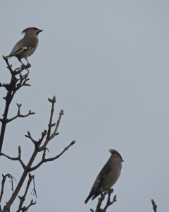 Adult (top) and juvenile Waxwing