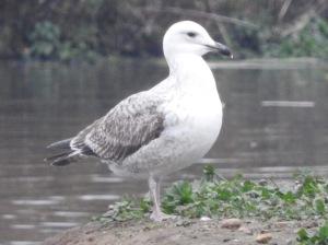 Juvenile Caspian Gull. Photo by Keith