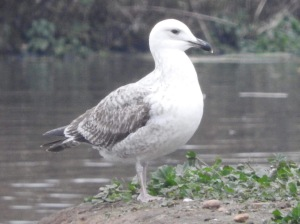 Juvenile Caspian Gull. Photo by Keith