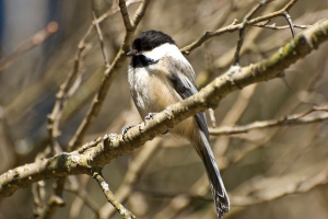 Marsh Tit. Photo by Shawn Nystrand (https://www.flickr.com/photos/the_webhamster/)