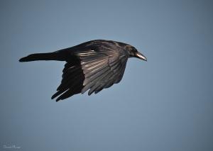 Raven. Photo by Daniel Plumer (https://www.flickr.com/photos/dlplumer/)