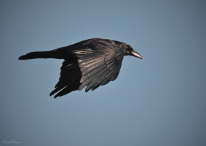Raven. Photo by Daniel Plumer (https://www.flickr.com/photos/dlplumer/)
