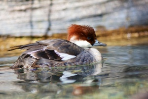 Smew (f). Photo by henry McLin (https://www.flickr.com/photos/hmclin/)