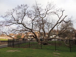 Catapala Tree (American Indian Bean Tree) outside Rochester Cathedral. It is over 100 years old.