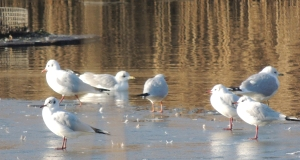 Black-headed and Common Gulls