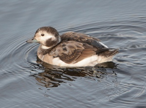 Long-Tailed Duck. Photo by  Sergey Yeliseev (https://www.flickr.com/photos/yeliseev/)