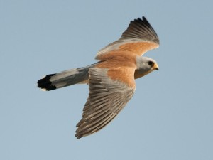 Lesser Kestrel. Photo by Sergey Yeliseev (https://www.flickr.com/photos/yeliseev/)