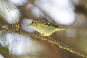 Yellow-Browed Warbler. photo by Sergey Yeliseev (https://www.flickr.com/photos/yeliseev/)