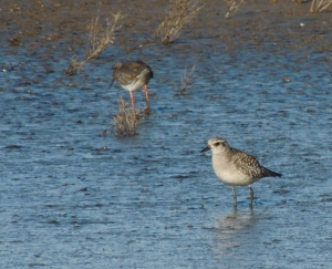 Grey Plover and Redshank