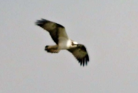 Osprey KC