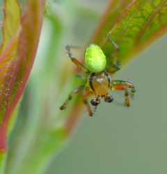 Cucumber Spider. Photo by Mary Shattock (https://www.flickr.com/photos/maryshattock/)