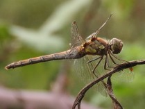 common darter-2
