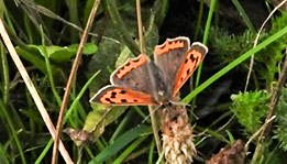 small copper-3